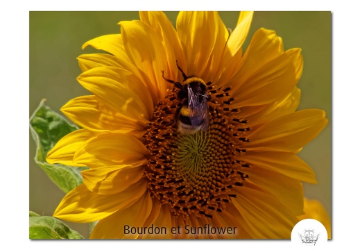 BumbleBee & Sunflowers